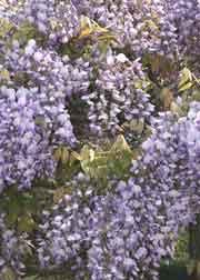 紫花美短藤
